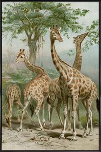 Giraffe - Brehm