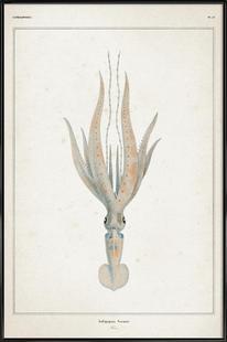 Loligopsis Veranii - Vérany