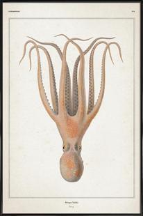 Octopus Salutii - Vérany