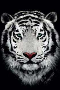 Dark Bengal Tiger