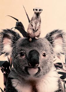 Koala Meerkat Dreamteam