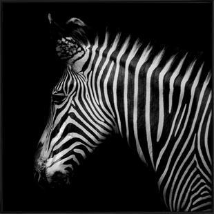 Zebra Profile by Lothare Dambreville