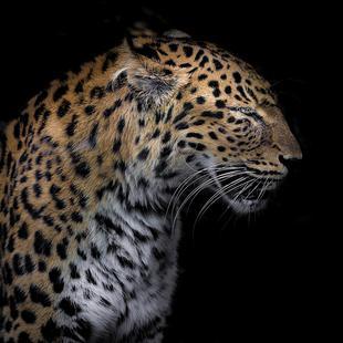Leopard Profile by Lothare Dambreville