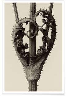 Dipsacus Laciniatus - Karl Blossfeldt