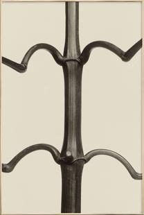 Impatiens Glandulifera, 1928 - Karl Blossfeldt