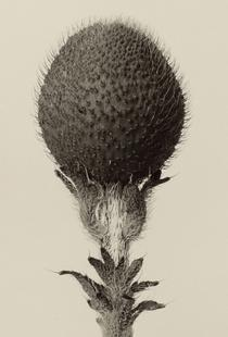 Thorned Bulbous Plant - Karl Blossfeldt