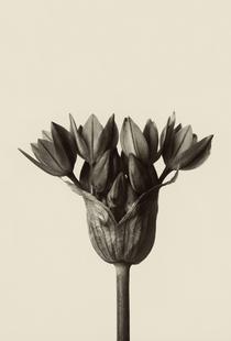 Allium Ostrowskianum, Knoblauchpflanze - Karl Blossfeldt