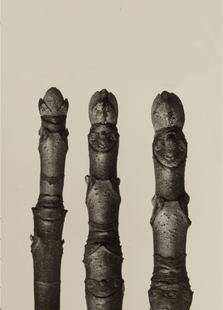 Aesculus Parviflora, 1928 - Karl Blossfeldt