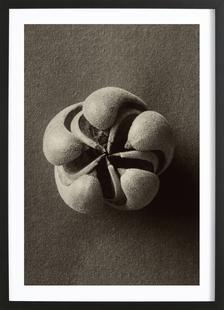 Blumenbachia Hieronymi (Loasaceae) - Karl Blossfeldt