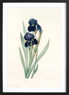 Iris germanica, German flag, -Pierre Joseph