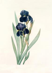 Iris germanica, German flag, -Pierre Joseph