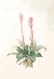 Neottia speciosa -Pierre Joseph