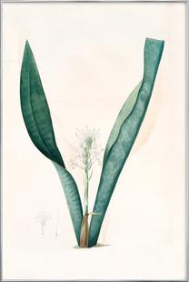 Sanseviera guineensis, African Hemp - Pierre Joseph