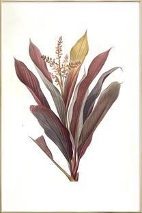 Dracoena terminalis, Dragon Lily, Good Luck Tree -Pierre Joseph