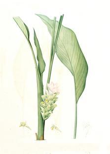 Curcuma longa, -Pierre Joseph,