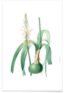 Ornithogalum longibracteatum,  Sea onion - Pierre Joseph