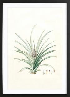 Bromella ananas, Ananas Sativus -Pierre Joseph,