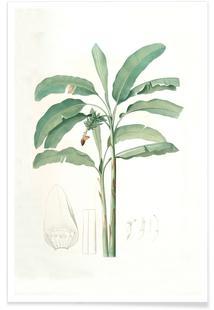 Musa paradisiaca, Cultivated Banana (Plant), -Pierre Joseph