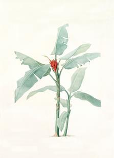Musa coccinea, Redouté - Pierre Joseph