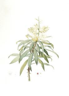 Dracoena reflexa, Song of India, Pleomele or Maylasian draceana, -Pierre Joseph