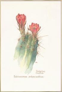 Hedgehog Cactus, Echinocereus Polyacanthus