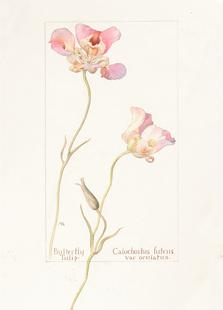 Butterfly Tulip Calochorus Luteus var Oculatus
