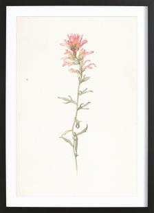 Northwest Indian Paintbrush Castilleja Angustifolia - Margaret Neilson Armstrong