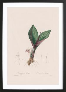 Kaempferia Longa, 1802-1816 - Henry Joseph Redouté