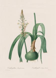 Ornithogalum Longibracteatum, 1802-1816 -Henry Joseph Redouté