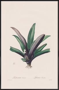 Tradescantia Discolour, 1802-1816 - Henry Joseph Redouté