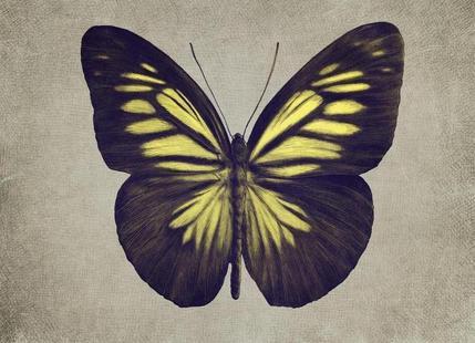Papillon (yellow)