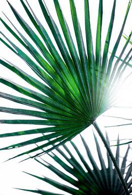 Palm Leaves 19