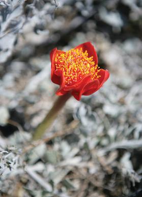Mountain Flower Canvas Print