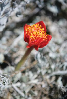 Mountain Flower Aluminium Print