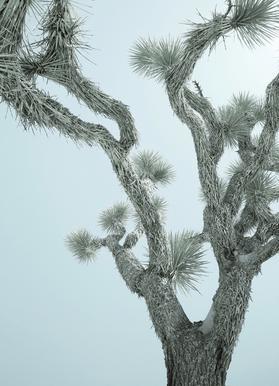 Joshua Tree -Leinwandbild