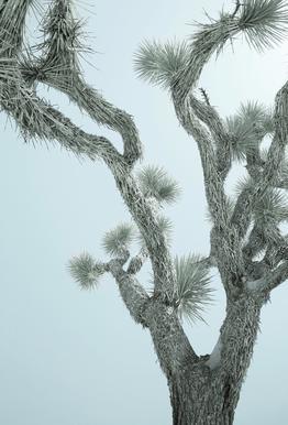 Joshua Tree -Acrylglasbild