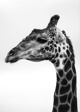 Giraph -Leinwandbild