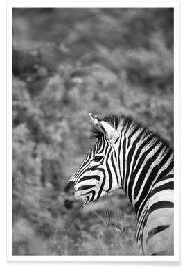 Zebra -Poster