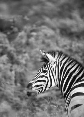 Zebra -Leinwandbild