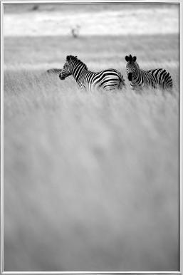 Zebra Pair -Poster im Alurahmen