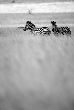 Zebra Pair -Alubild