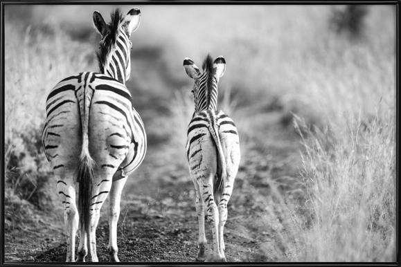 Zebra family Framed Poster