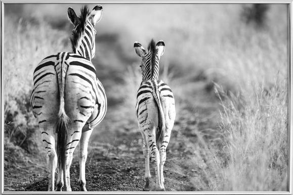 Zebra family -Poster im Alurahmen