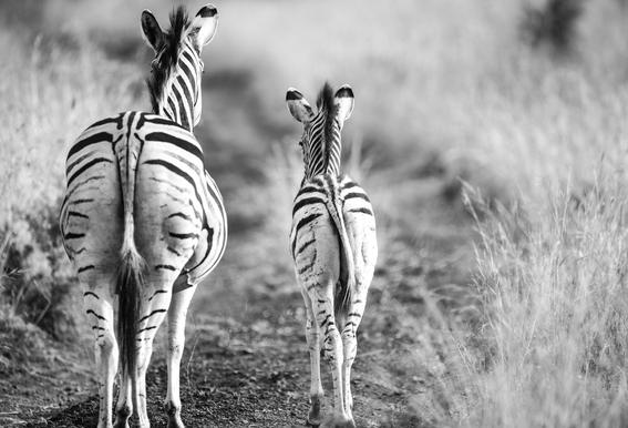 Zebra family Aluminium Print