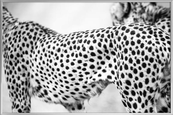 Cheetah Poster in Aluminium Frame