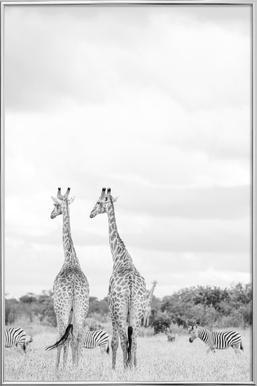 Giraph couple Poster in Aluminium Frame