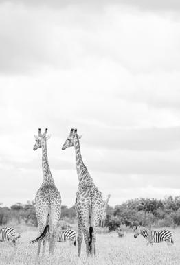 Giraph couple Acrylic Print