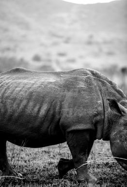 Black Rhino -Alubild
