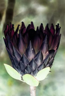 King Protea 1