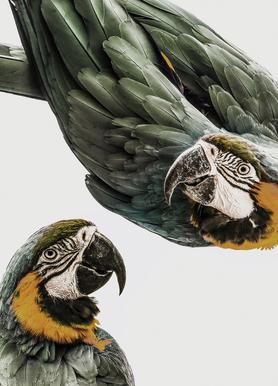 Birds of Paradise 01 Canvas Print